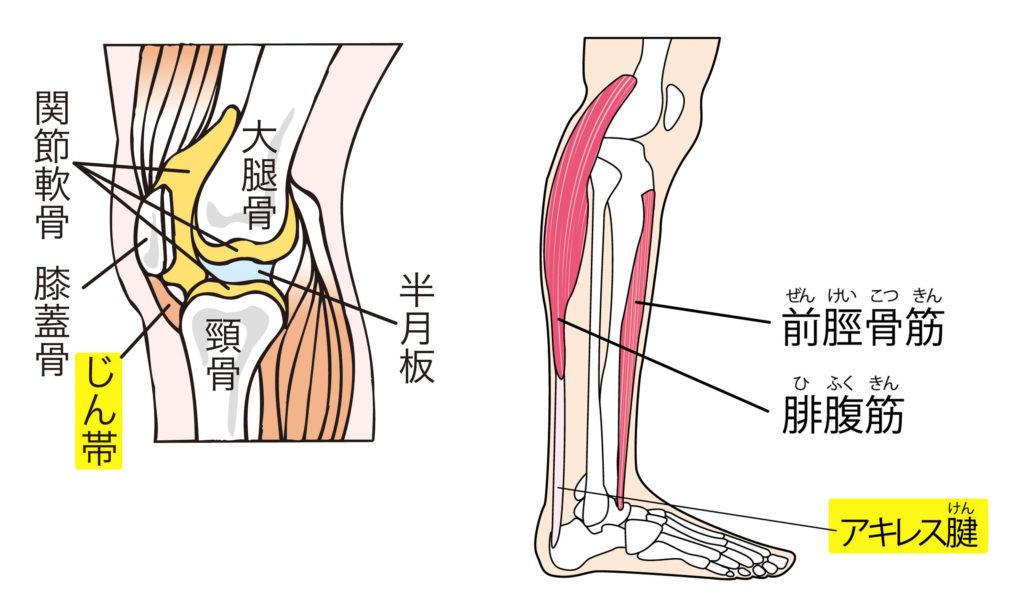 靭帯・アキレス腱